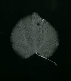 cercidiphylum japonicum
