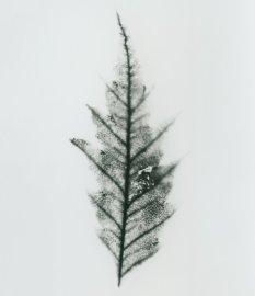 hêtre à feuilles de fougère blanc