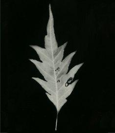 hêtre à feuilles de fougère