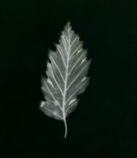 hêtre rouge à feuilles de chêne
