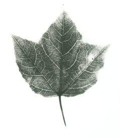 liquidambar formosana de Formose