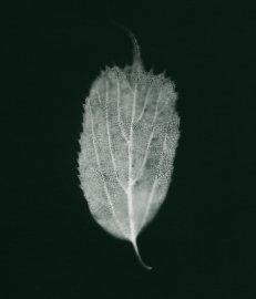 micocoulier de corée