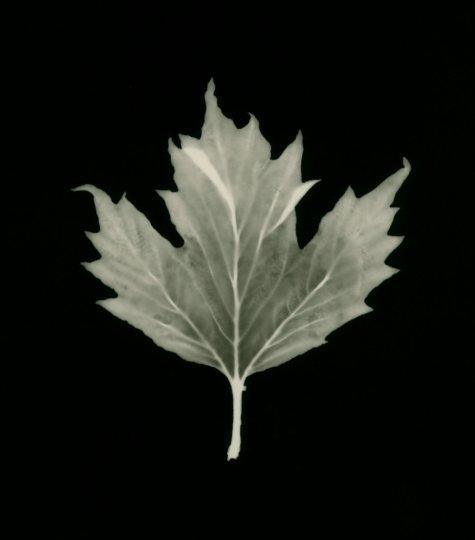 platane à feuilles d'érable