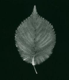 prunus incisa noir