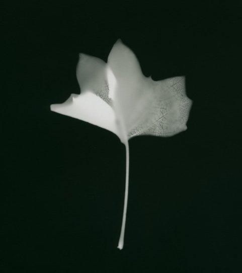 tulipier crispé