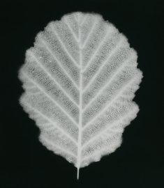 alnus glutinata
