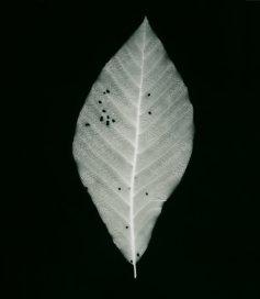 fagus orientalis h. d'orient