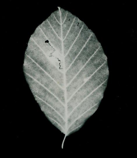 hêtre.chenille