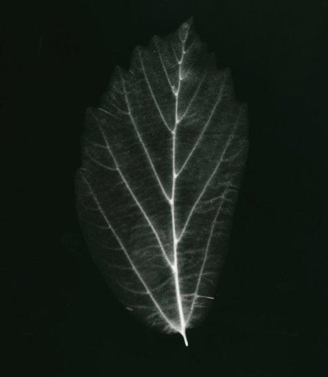 perrotica persica.arbre de fer